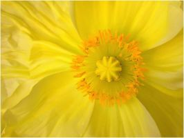 YELLOW POPPY by THOM-B-FOTO