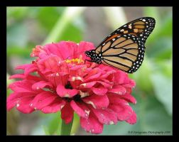 Monarch 7 by picworth1000wrds