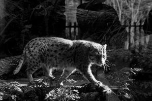 Fishing Cat by DanielleMiner
