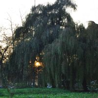 sunny willow by marlene-dietrich