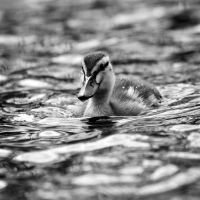 Duckling by adrenaline-rest