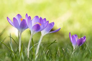 Crocuses, again. by MadeOfSteel