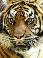 Sumatran Tigress by cheshirecat84