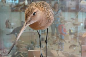 Texel: Mounted Black-tailed Godwit by Lot1rthylacine