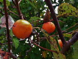 Wild Persimmons 2015 by Matthew-Beziat