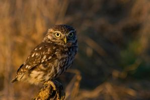 Sunlit little owl by AngiWallace
