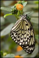Butterfly by Fritz42