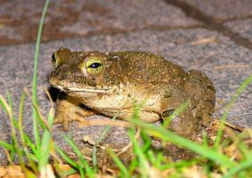 toad by Kutaly