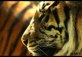 Sumatran Tiger_5148 by MASOCHO