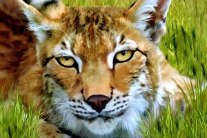 Lynx in the Grass by allison731