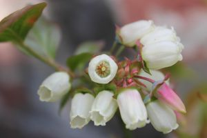Blueberry Blossoms by DanikaMilles