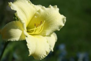Yellow Lilly by sidneyj06