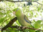 parrotlet in the trees 3 by KickassConnor