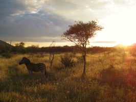 Zebra Dawn by samboardman