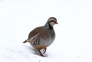 Partridge 4 by RixResources