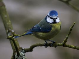 Blue Tit 3 by samboardman