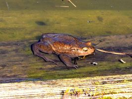 Frog on a log by Trucina