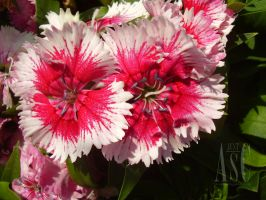 Well-Watered Dianthus by Pentacle5