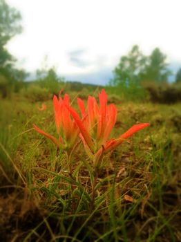 Indian Paintbrush by Christa-S-Nelson