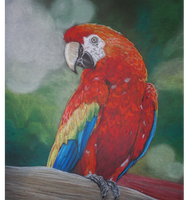 Scarlet Macaw Pastel by BLACKNIGHTINGALE81