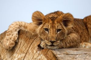 Lion cub on a tree by Tygrik