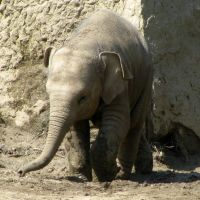 Young Elephant at Prague Zoo by SML3000