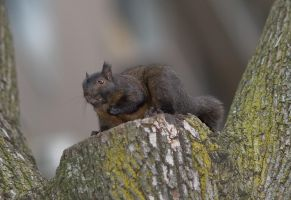 Squirrlol by claudiuvoicu