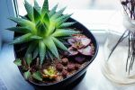 new succulents by AzureFantoccini
