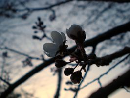 Plum Blossoms by dancingmelons97