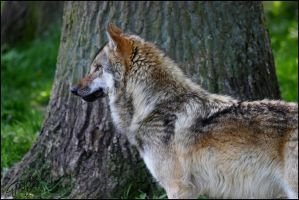 European Wolf 61 by Canisography