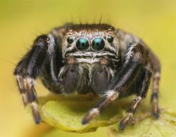 Jumping spider by bua89