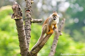 Squirrel Monkey V by amrodel