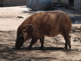 Red River Hog by photographyflower