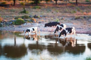 tilt-shift cows by chimneysweeper