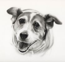 Jack Russell Terrier by Acacia13