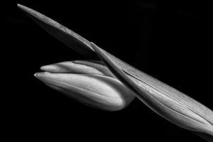 Tulip-shot 2 by CharmingPhotography