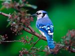 Bluejay by gone-whack