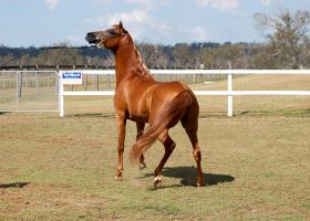 GE Arab chestnut head up turning by Chunga-Stock