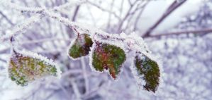 Frozen leaves by Betagalactosidase