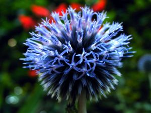 Opening Globe Thistle 2 by parallel-pam