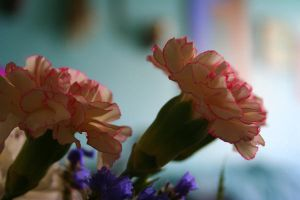 Carnations by Of-Heliotropes