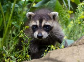 Raccoon Baby stepping out by White-Voodoo