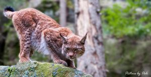 Lynx10 by PictureByPali