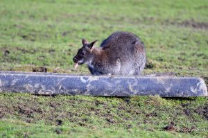 Cheeky Wallaby by Red-Smurfette