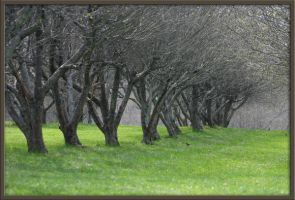 Orchard Apple Trees by Deidreofthesorrows