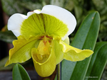 Yellow orchid solo by Mogrianne