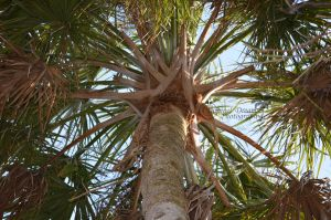 Palm Tree Closeup by OECDLapushfan101