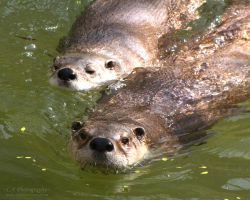 River Otters 540 by caybeach