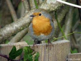 Cheeky Robin by PixelMage-Photos