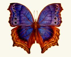 Salamis temora butterfly by HedwigtheStrange